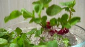 yumru : Falling of fruits of a radish in a bowl with water. Slow motion.