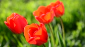 тюльпаны : Tulips in the spring.