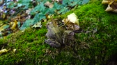 жаба : Frog in the fall forest.