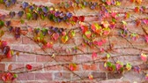 плющ : Ivy on the brick wall of the house. Shooting in the fall.