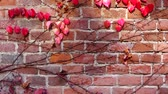 sarmaşık : Ivy on the brick wall of the house. Shooting in the fall.