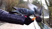 ornitologie : Feeding pigeons from your hands in the winter park.