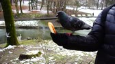 ornitologie : Feeding pigeons from your hands in the winter park. Slow motion.