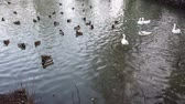 patos : Geese and ducks in the pond. Archivo de Video