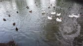 gansos : Geese and ducks in the pond. Stock Footage