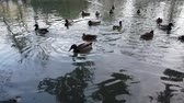 waterbird : Ducks in a pond. Reflection of trees in water. Stock Footage
