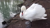 A white swan near the pond.