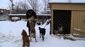 doghouse : Outdoors animal shelter in winter, volunteer hugging dogs  on January 22, 2016 in SamaraSamara regionRussia