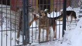 houseless : Outdoors animal shelter in winter, the dogs are behind bars, they bark and waiting for their new owners Stock Footage