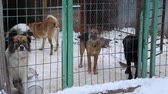 doghouse : Outdoors animal shelter in winter, the dogs are behind bars, the dog misses his owner, she whines and waiting for new owners Stock Footage