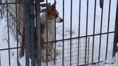doghouse : Outdoors animal shelter in winter, the dogs are behind bars, they missing his owners and waiting for new owners