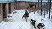 humane : Outdoors animal shelter in winter, the dogs bark behind bars, they missing his owners and waiting for new owners Stock Footage