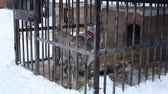 doghouse : Outdoors animal shelter in winter, the dogs bark behind bars, they missing his owners and waiting for new owners Stock Footage