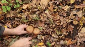 comestível : A man picking mushrooms armillaria in the forest in autumn, fallen yellow leaves lie on the ground