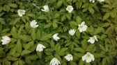 mei : Spring white flowers Europe. Noble mayflower (Hepanca nobilis) Stockvideo