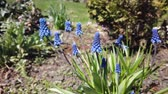 спаржа : Footage of beautiful blue Muscari flowers bloom in spring garden