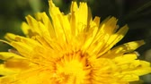 mei : Yellow dandelions on green meadow in springtime. Beautiful yellow dandelion blossoms