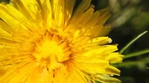 mei : yellow Dandelion flowers turn Stockvideo