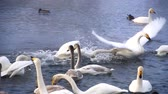 altay : swans on lake in altay, russia