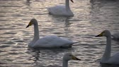 сумма : swans on lake in altay, russia