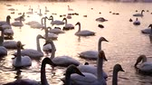 сумма : Huge amount of swans in lake Стоковые видеозаписи