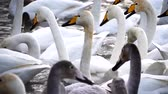 lago de los cisnes : h Archivo de Video