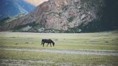 Walking Horse. The horse moves slowly against the background in Altay mountains