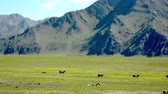 Mountain Altay Landscape. The summer mountain scenery. The green grass covers a large valley located between the snow-capped peaks of distant mountains. The white-brown cows grazing freely. Dostupné videozáznamy