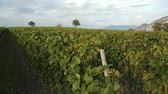 borgonha : Tracking shot in vineyard. Find similar clips in our portfolio.