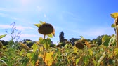 Sunflowers steadyshot. Find similar in our portfolio. Stock Footage