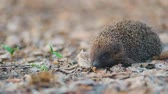 europaeus : Hedgehog with a pretty long nose walking through the carpet of yellowed dry forest leafs, Steady cam, slow mo shot