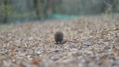 Štětiny : Small pretty hedgehog walking across yellowed dry lips in the forest, Steady cam, slow mo shot Dostupné videozáznamy