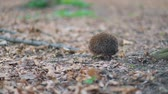 europaeus : Careful little forest ambulance hedgehog moving forward near mossy roots of the huge tree, Steady cam, slow mo shot