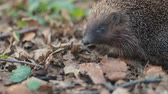 espinhoso : Pretty small sweet common hedgehog eating from the land in the forest