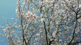 fukushima : scene shows a tour through an japanese cherry tree in spring full with blossoms