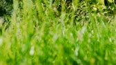 haulm : a hand is stroking along grass Stock Footage