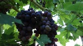 red grapes in a soft wave in the wind wineyard Stock Footage