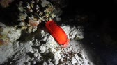 meztelen csiga : Nudibranch Spanish Dancer Red Sea Egypt during a night dive