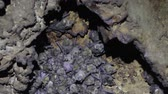 sopa : Large colony of antillean fruit-eating bats in a cave on the caribbean island of Antigua