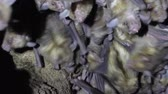 vampir : Large colony of antillean fruit-eating bats in a cave on the caribbean island of Antigua