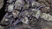 wampir : Large colony of antillean fruit-eating bats in a cave on the caribbean island of Antigua
