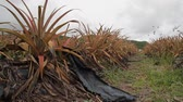 ananász : Antiguan Black Pineapple a local specialty and the worlds sweetest pineapple is grown on this farm at Cades Bay
