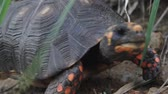 black footed : Red-footed tortoise in the wild living on the caribbean island of St Barthelemy