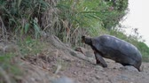 fosilní : Red-footed tortoise in the wild living on the caribbean island of St Barthelemy