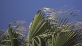 hajlítás : Slow motion of branches of a palm tree moving in strong wind Stock mozgókép
