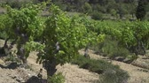 terroir : Small vineyard in southern France with grapevines moving in the wind