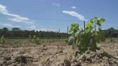 vinná réva : Planting a vineyard in Southern France Languedoc region