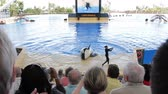 baleia : Orca jumps out of a pool during Killer whale show Stock Footage