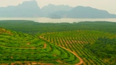 phangnga : Plantations of oil palm tree rows are seen from above. Tropical landscape.
