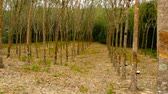 сок : Plantation for the extraction of natural latex from rubber trees.